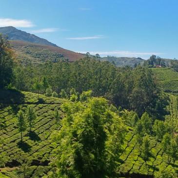 Green tea gardens